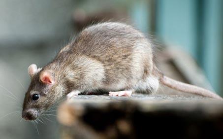 Derattizzazione da topi e ratti a Bologna e provincia